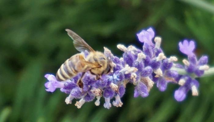 Biene auf einer Lavendelblüte sitzend